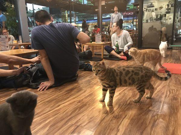 Bar de gatos en Chiang Rai