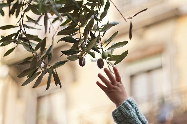 olivos de granada